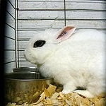 Rabbit breed dwarf hotot