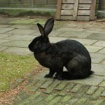 Belgiun hare rabbit breed