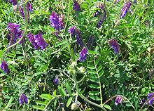 can rabbits eat hairy vetch